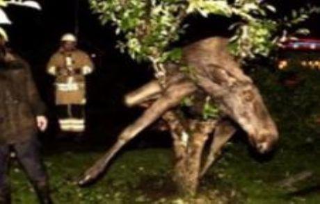 Sarhoş Geyik Ağaca Çıktı