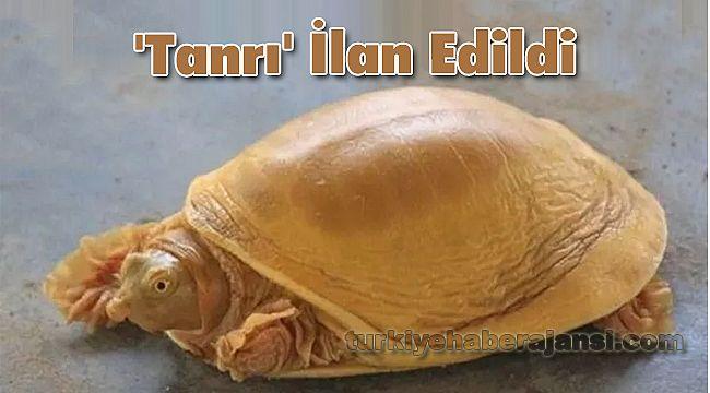 Dünyanın 5'inci Altın Renkli Kaplumbağası 'Tanrı' İlan Edildi