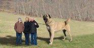 2.5 Metrelik Kangal Görenleri Şaşırttı